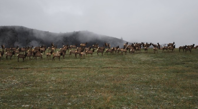 Elk on McClain Flats