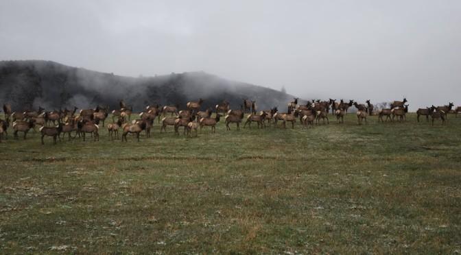 Elk on McClain Flats