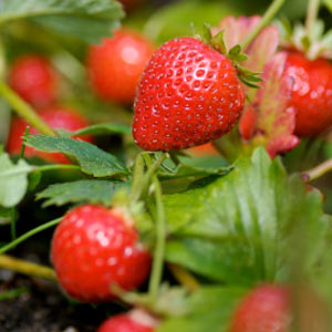 how-to-grow-strawberries-in-containers0