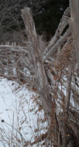 hedge fence in winter